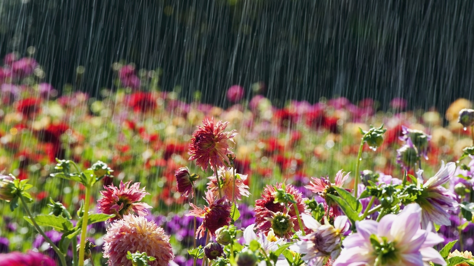 Beautiful Flowers In Rain Latest Wallpaper Hd Wallpaper