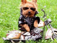 Funny-Dog-On-The-Motorcycle-Wallpaper-HD-free-for-desktop