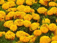 Marigold-Flower-Garden-Wallpapers-HD-free-for-desktop