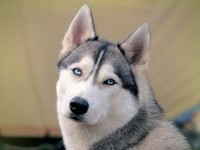 Blue Eyed Dogs free hd wallpapers