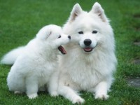 Hd samoyed puppy wallpapers free wallappers