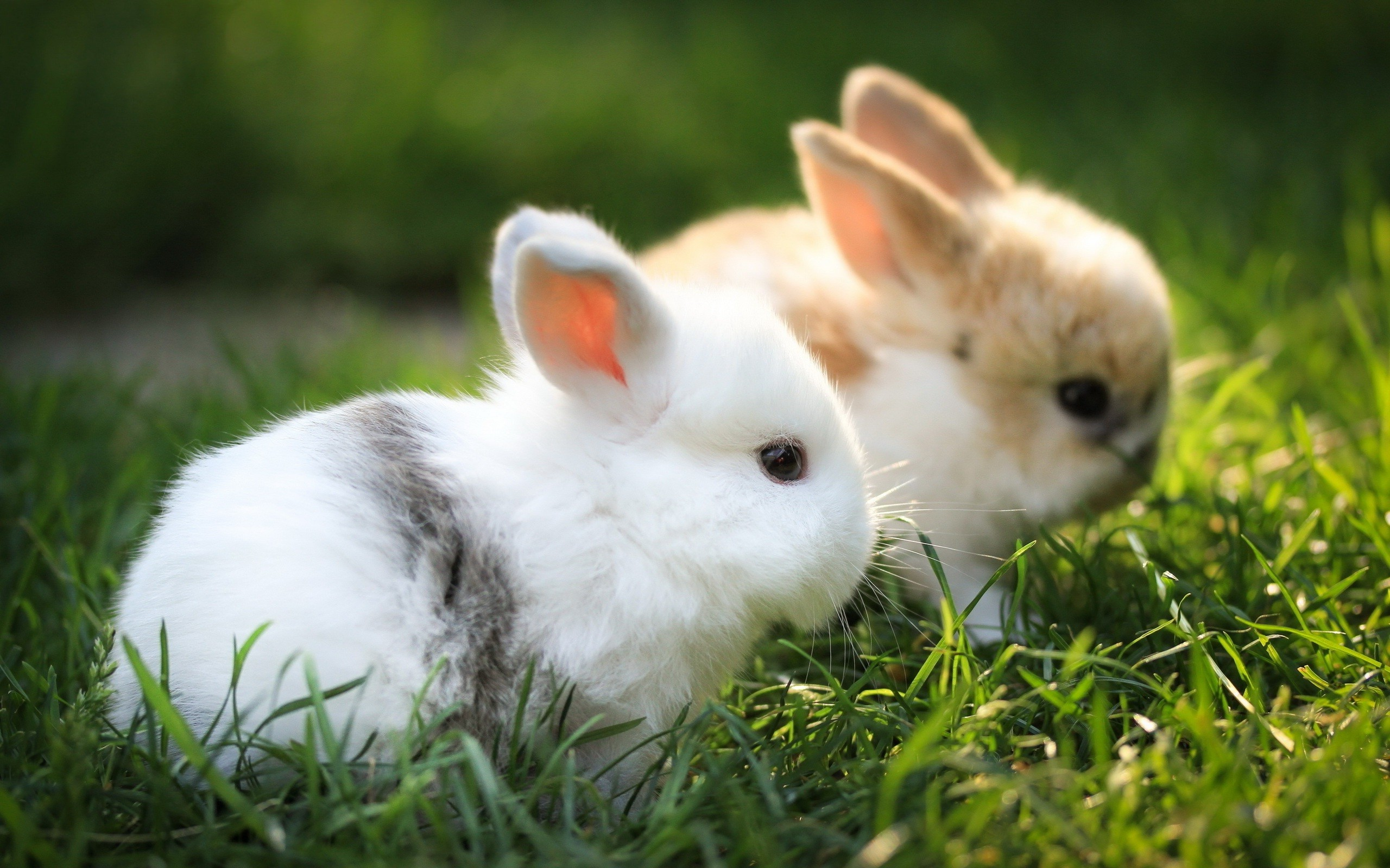 Lovely Hd Free Wallpapers Rabbits For Desktop