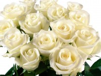 nice beautiful white roses hd free wallpapers