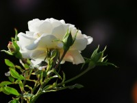 nice best beautiful hd free wallpapers white rose