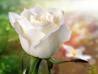nice best hd free wallpapers white roses