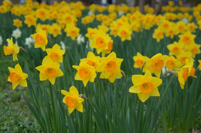 Names of yellow spring flowers image information yellow flowers names of yellow spring flowers mightylinksfo