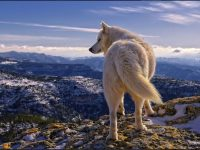 hd wolf wallpapers download