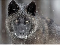 Cool wolf photos