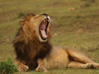 African lions images