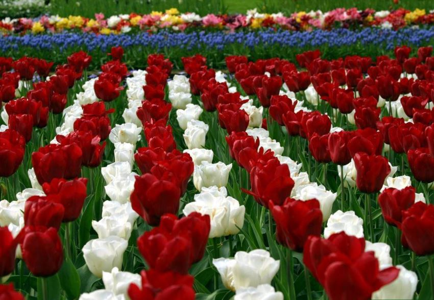 Tulip Flowers HD Wallpapers free download