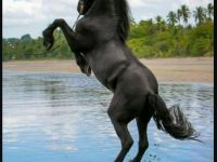 Black horse mobile wallpaper free download