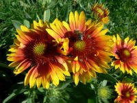 Gaillardia Aristata wallpaper HD Download