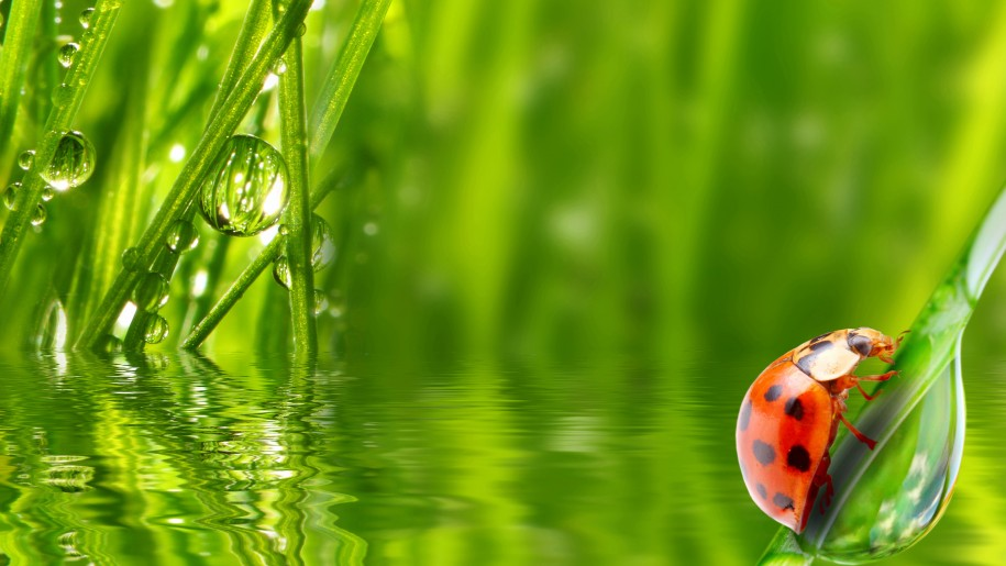 Lady bug with dew drop wallpaper