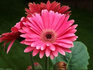 Gerbera wallpapers Images HD Free Download Gerbera History