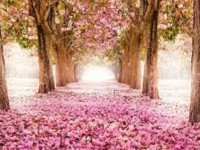 Pink-roses-path-hd-free-best-wallpaper
