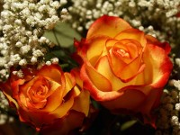 Yellow-roses-sweet-spring-season-hd-free-best-wallpaper