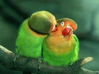 love birds wallpapers free download