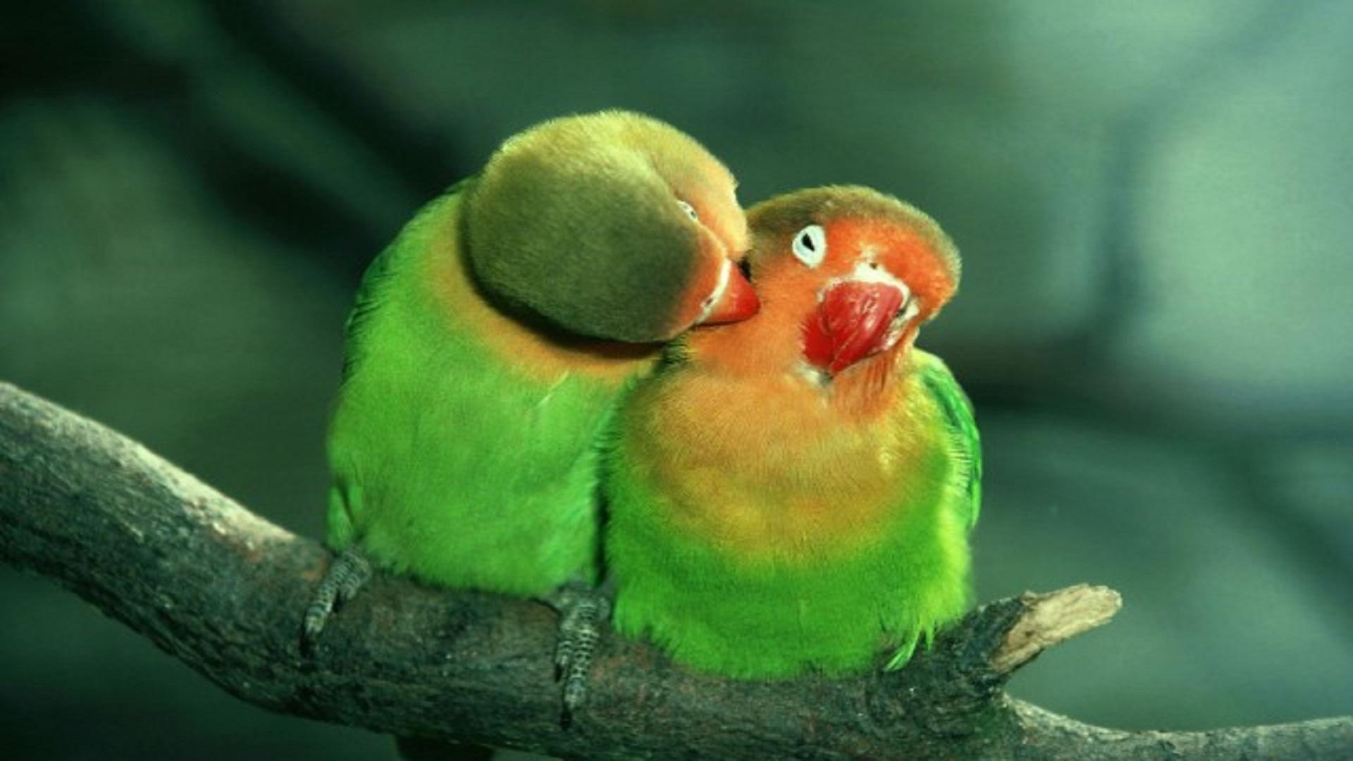Love Birds Wallpapers Free Download Hd Wallpaper