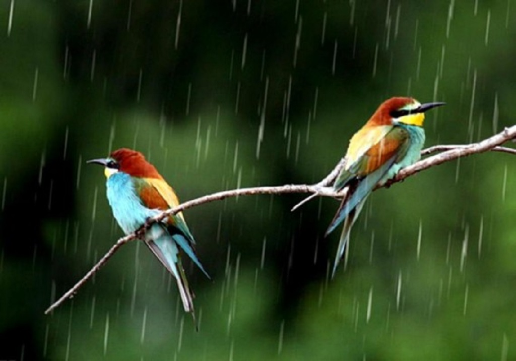 Birds In Rain Hd Wallpaper