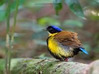 Gurneys-Pitta-hd-desktop-wallpapers-free-download-beautiful-birds-images