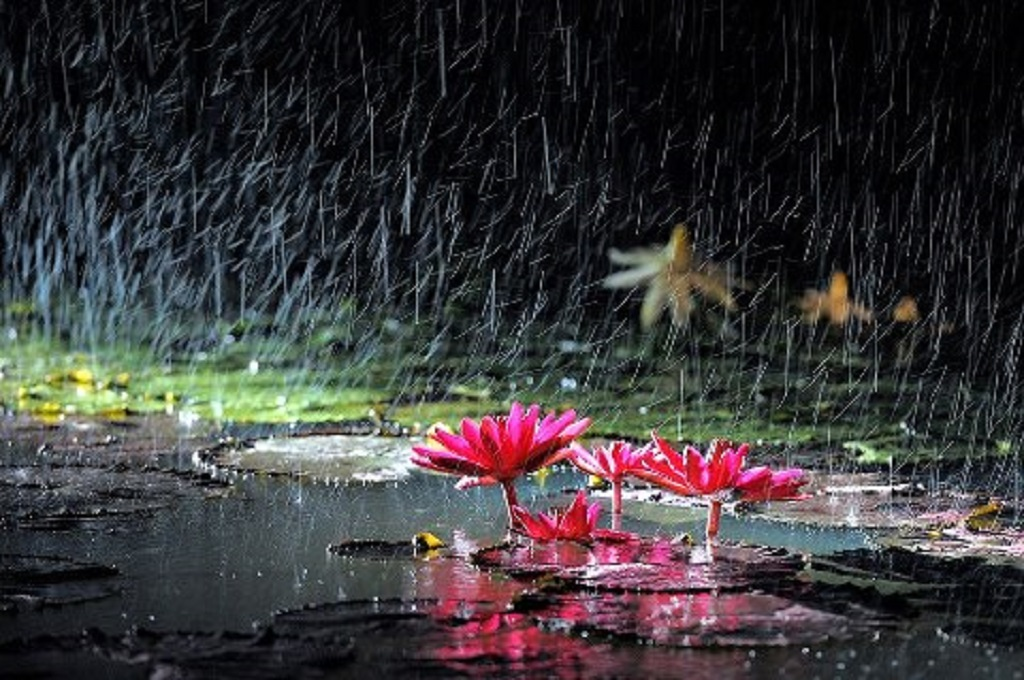 Floweer In Rain Enjoy Wallpapers