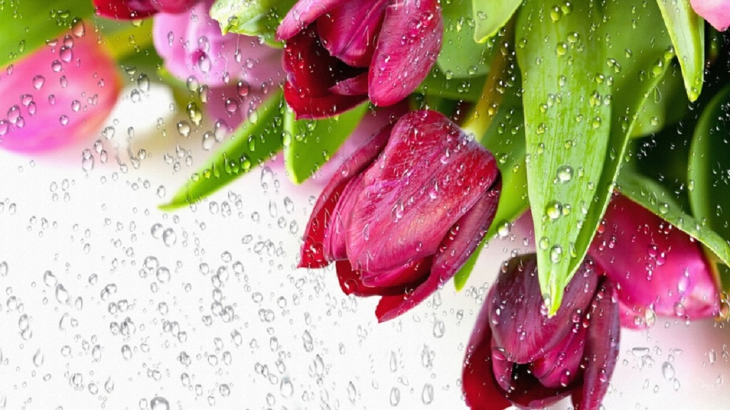 Tulips-in-the-Rain wallpapers
