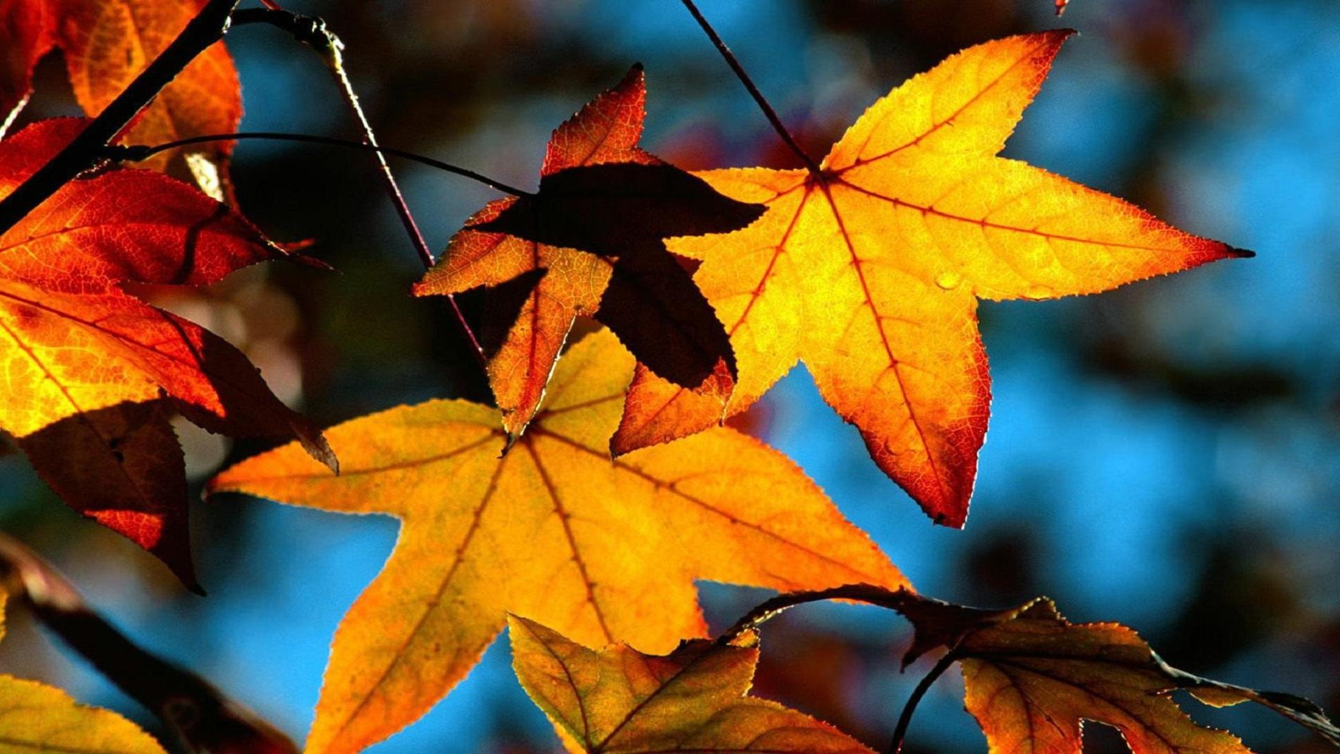 Autumn Leaves Wallpaper Widescreen Hd Wallpaper