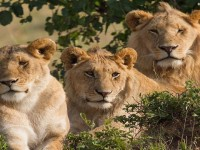 3-beautiful-african-lion-best-hd-wallpapers-free