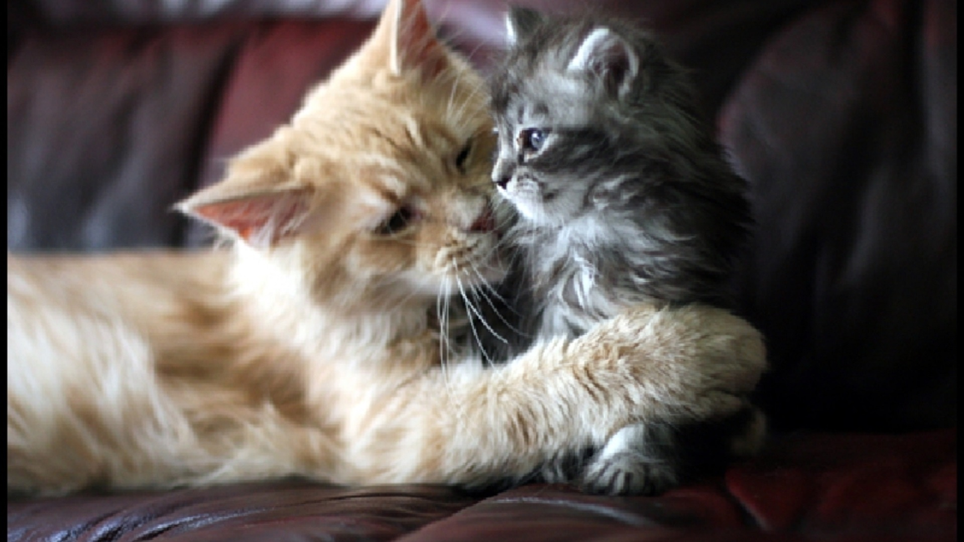 Beautiful Cat and kitten cats free hd wallpapers for desktops HD