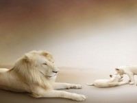 Beautiful-Lion-Cubs-Picture-hd-free-wallpapers
