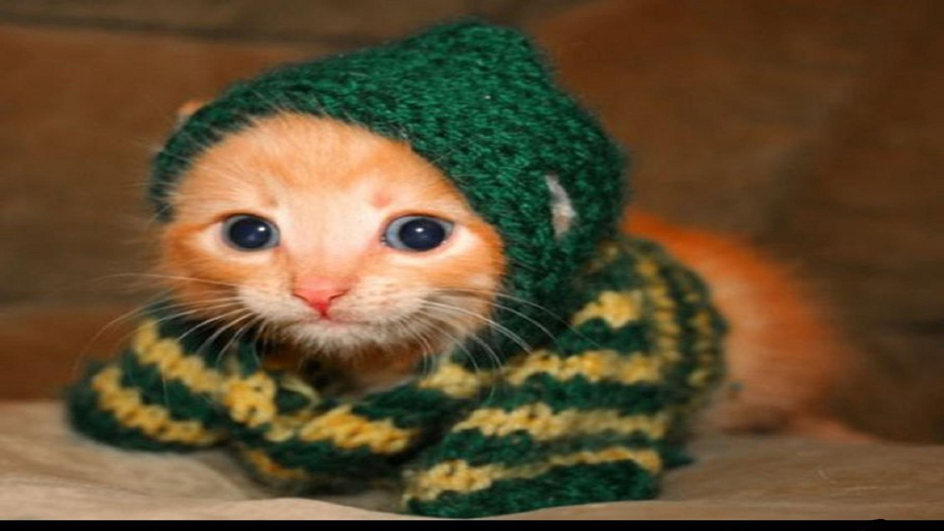 Beautiful Cats Wearing Cute Dress Free Hd Wallpapers Hd Wallpaper
