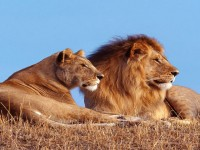 Dangerous-Animals-african-lion-free-HD-Wallpapers