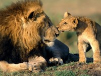 Father-lion-and-cub-lion-hd-free-wallpapers