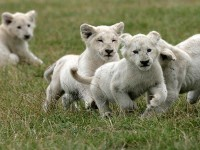Lions-Running_most-beautiful-hd-free-wallpapers
