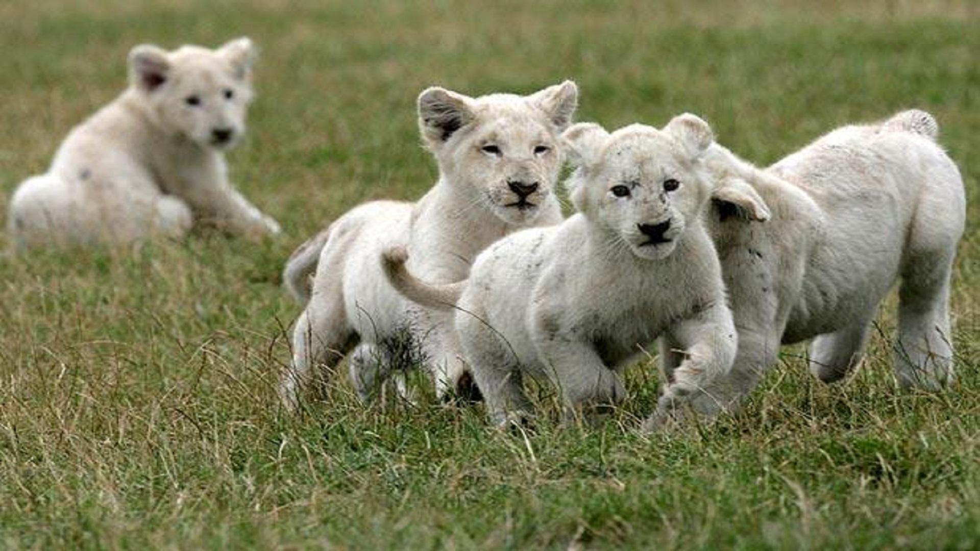 Lions Running Most Beautiful Hd Free Wallpapers Hd Wallpaper