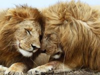 african-lions-love-hd-wallpapers-free