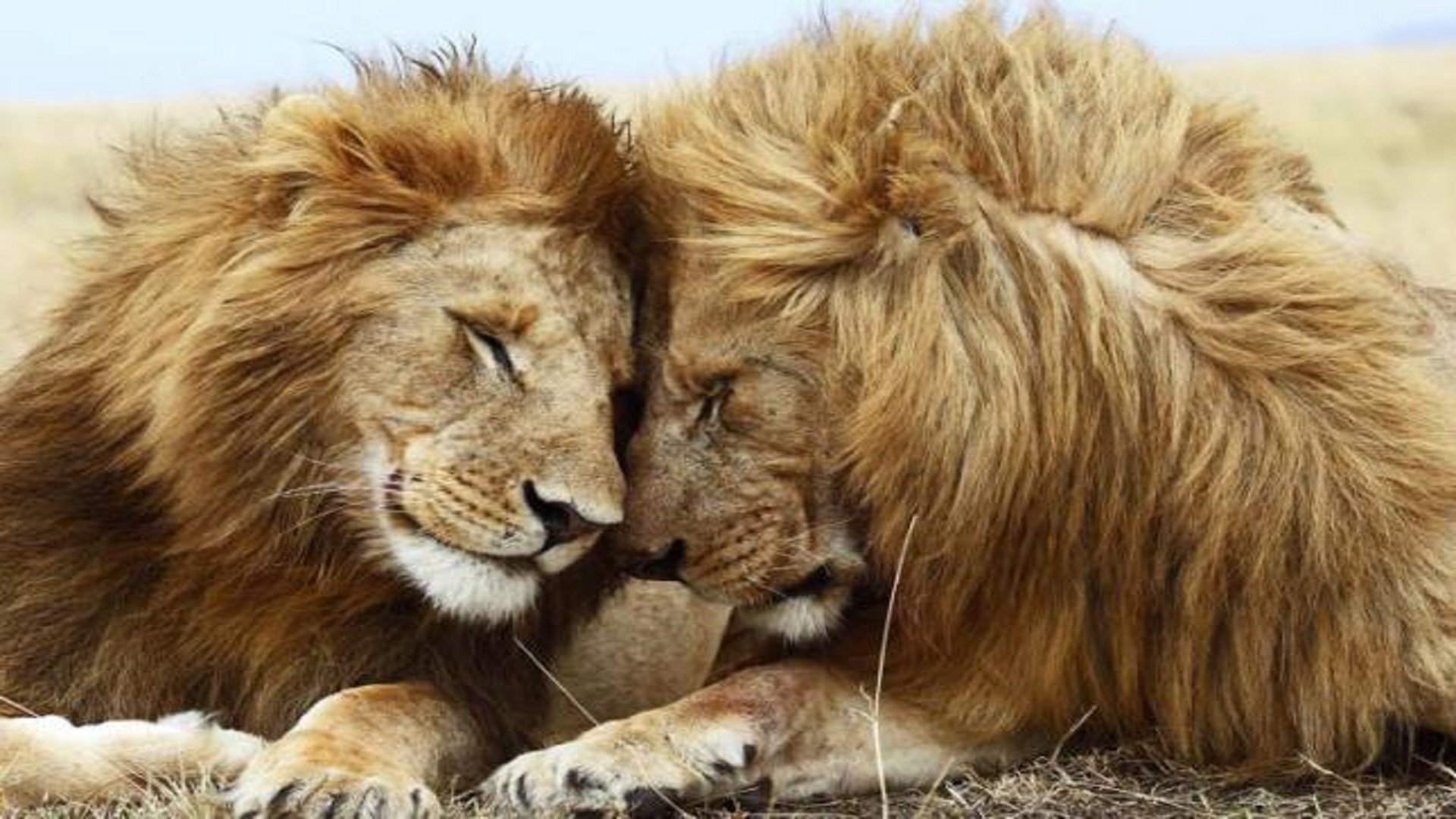 african-lions-love-hd-wallpapers-free - hd wallpaper