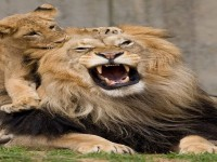 african-lions-so-dangrous-teeth-hd-free-wallpapers
