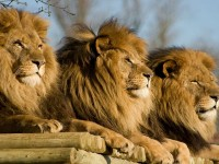 Beautiful Dangerous African Lion HD Wallpapers