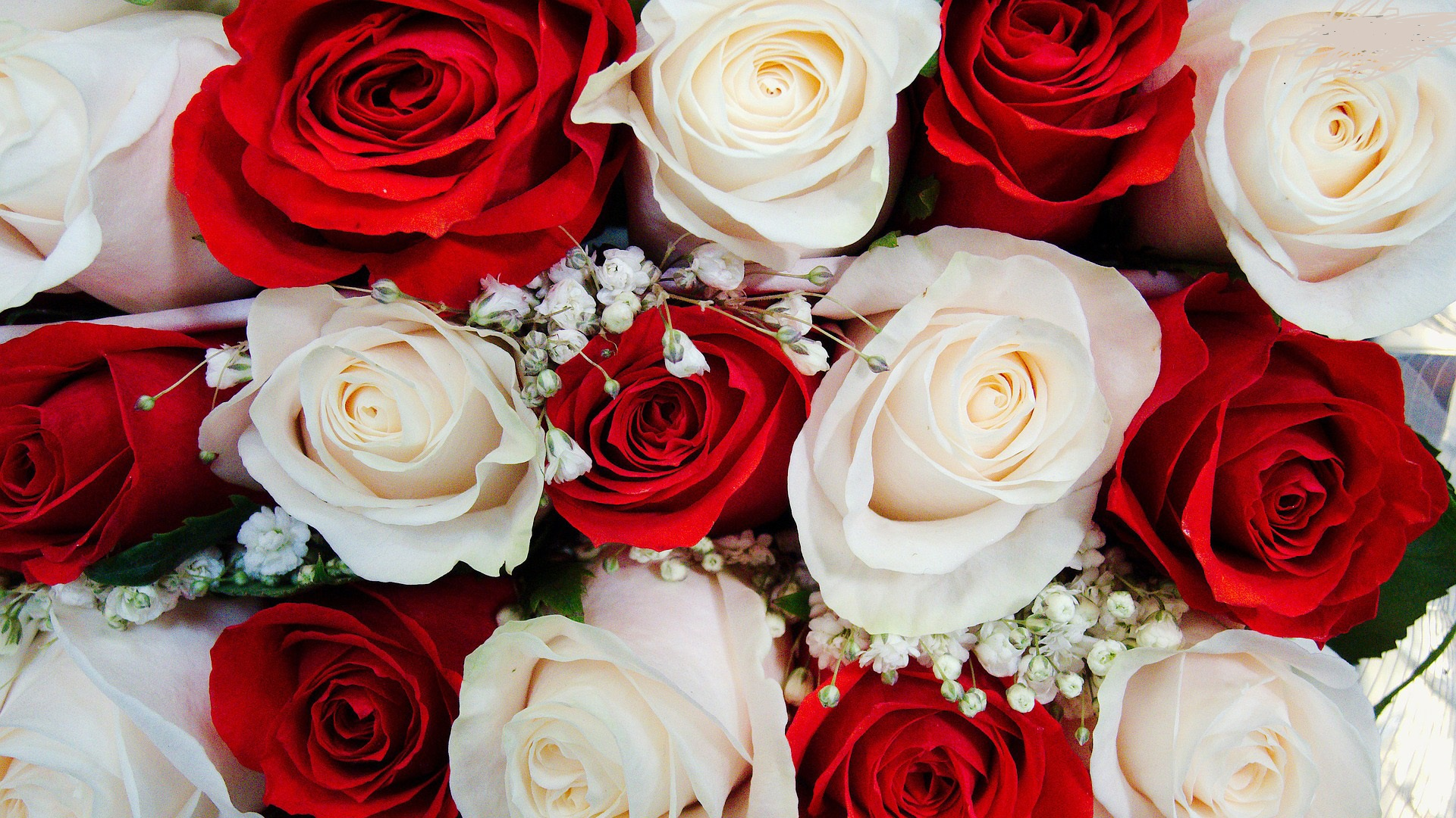 Amazing Red White Roses Free Wallpapers Hd