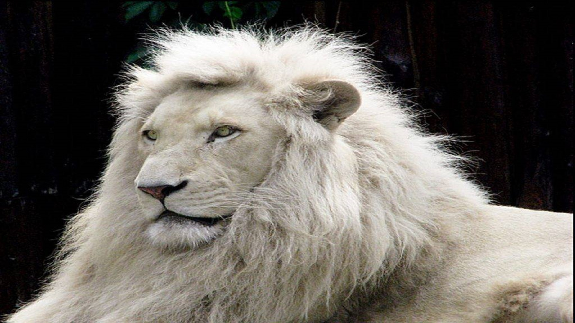 Animal Lovers White Lion Free Wallpapers Hd
