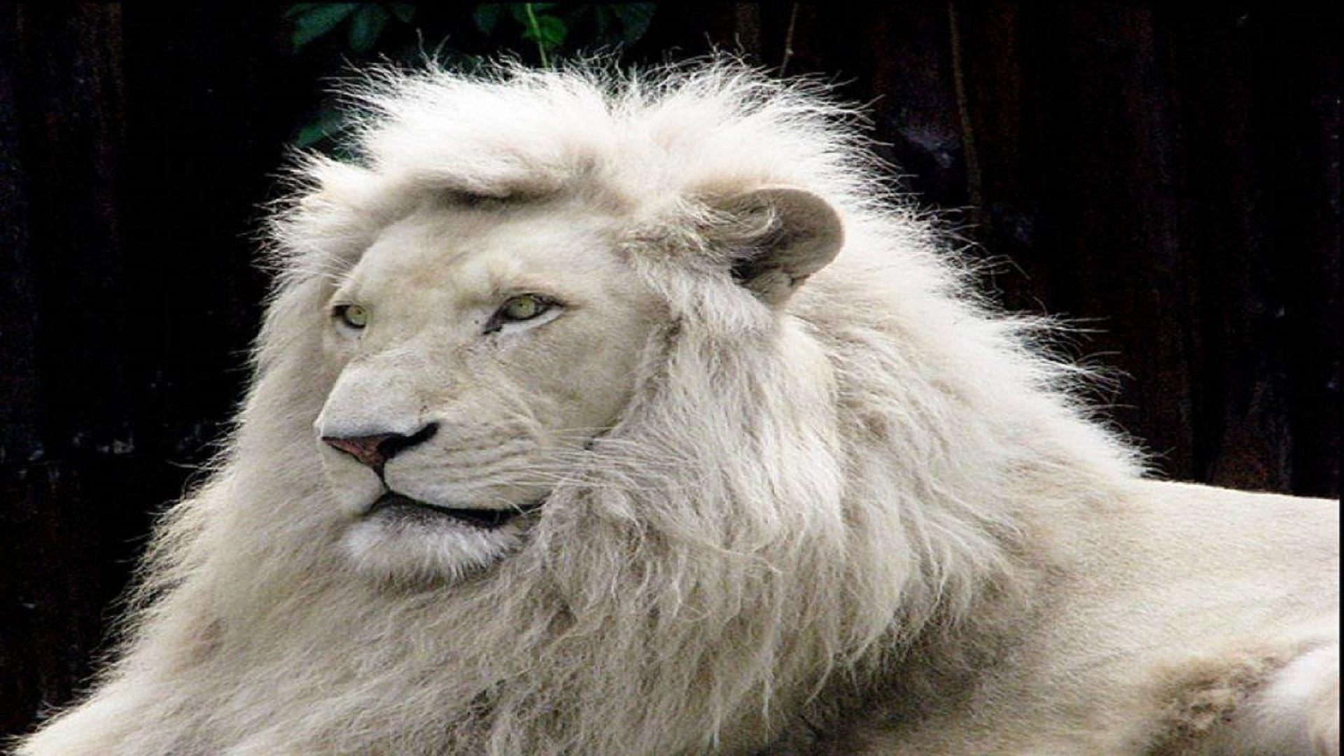 Animal Lovers White Lion Free Wallpapers Hd Hd Wallpaper