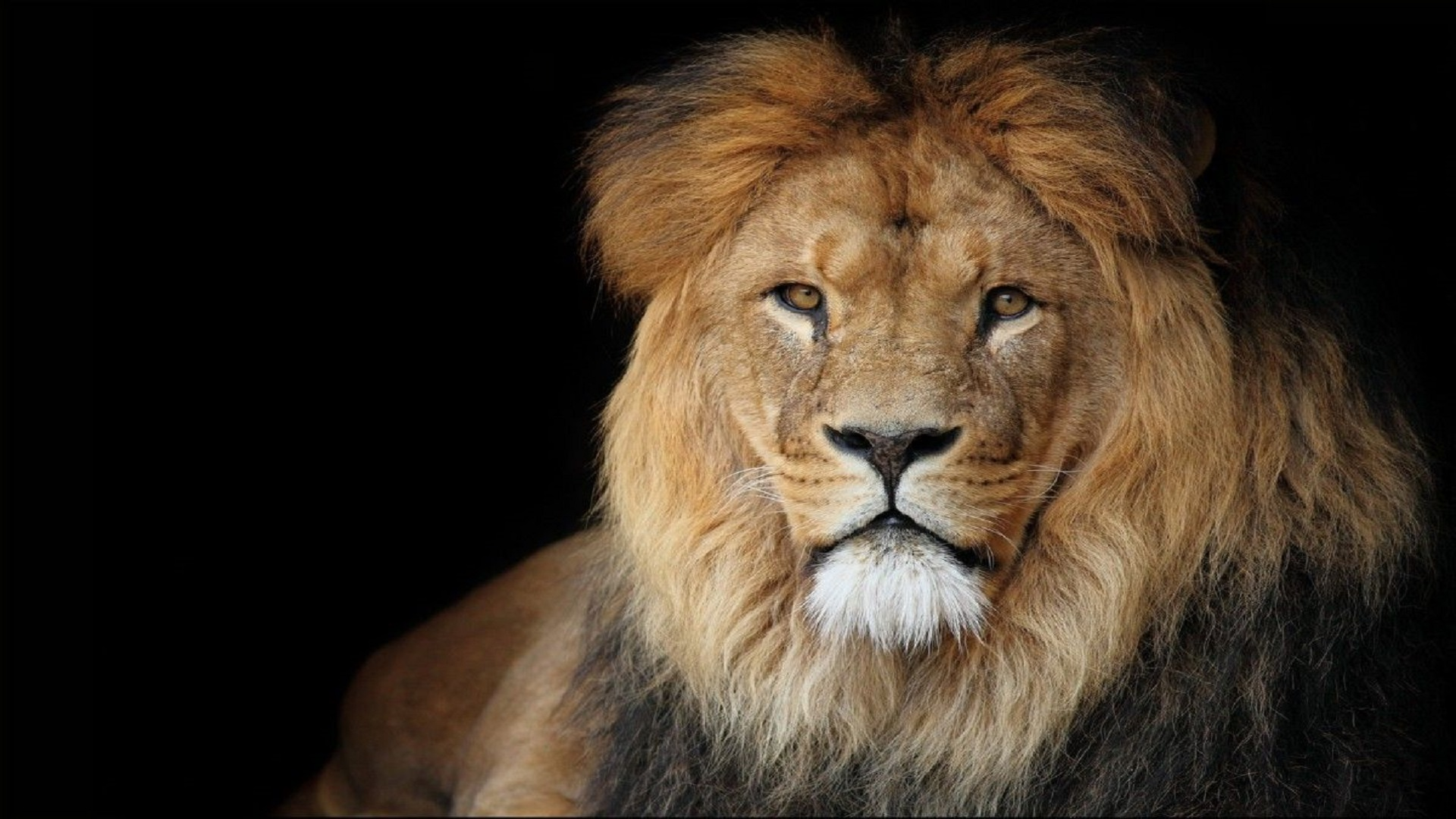 Beautiful African Lion Wallpaper Hd Free Downloaded