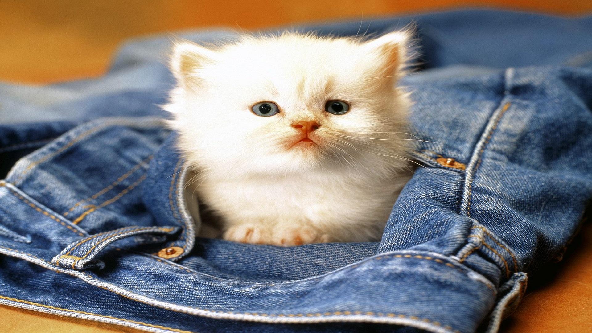Beautiful Cats Free Hd Wallpapers For Desktops Hd Wallpaper