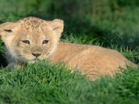 beautiful-cub-lion-hd-free-wallpapers