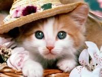beautiful-hat-and-cute-free-cat-hd-widescreen-wallpaper