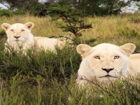 beautiful-white-lion-hd-free-wallpapers