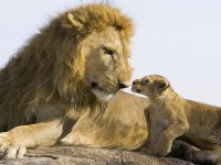 big-lion-baby-lion-hd-free-wallpapers-with-best-resolution