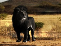 black-african-lion-hd-free-wallpapers-for-desktop