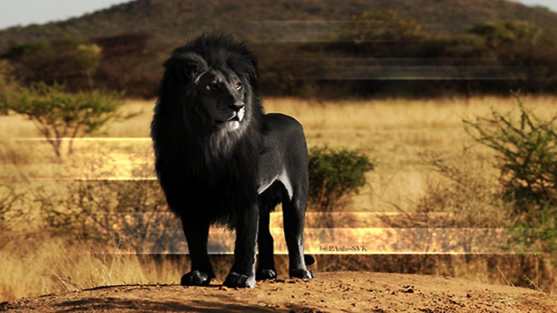 Black African Lion Hd Free Wallpapers For Desktop Hd Wallpaper